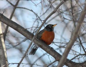 first-robin-spring-030209-lg1
